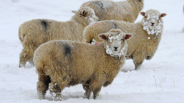 Sheep are seen covered in snow in a field near Middleham