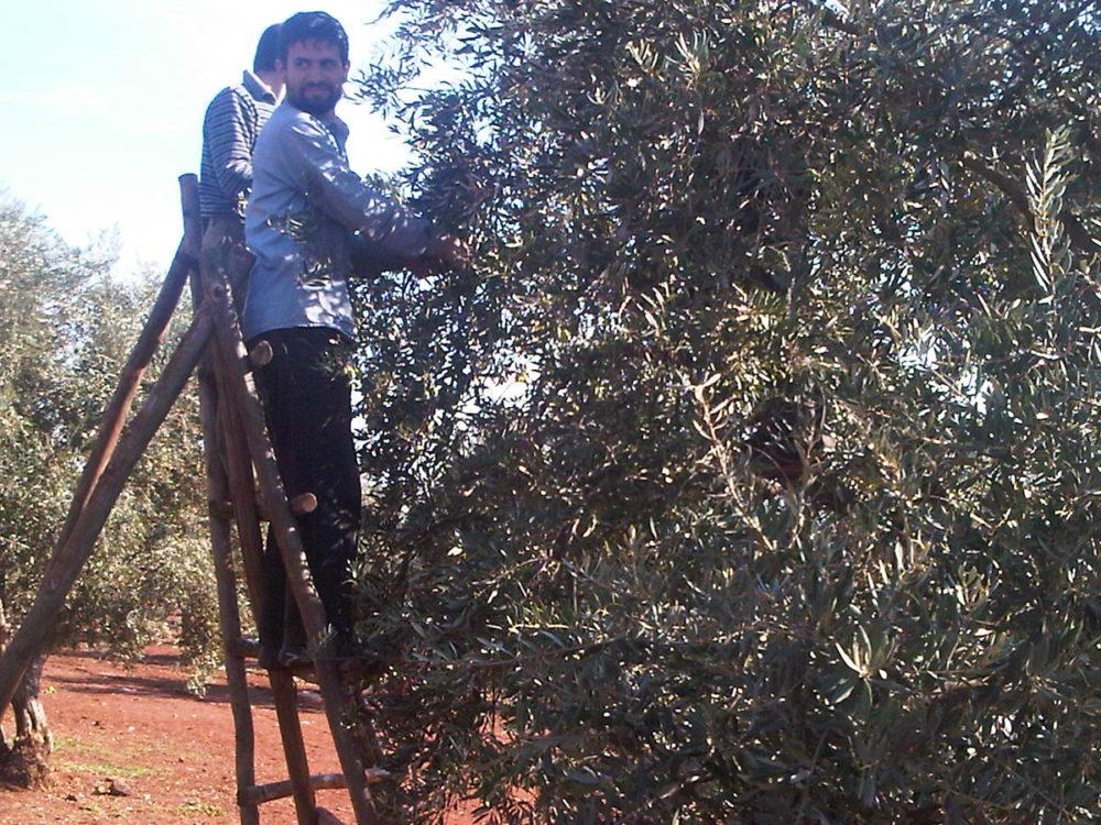 Olive harvest must go on in midst of refugee camp.