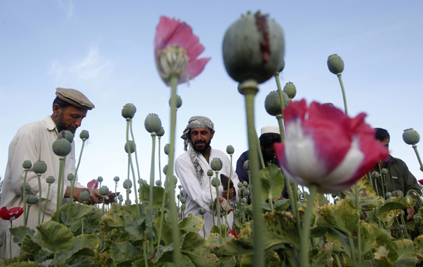 Afghan farmers work at a poppy field in Jalalabad province